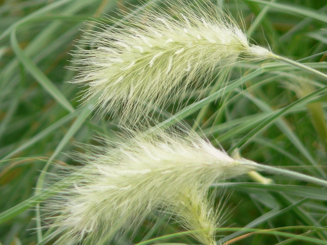 grass_pennisetum_villosum_nemira_640__92596