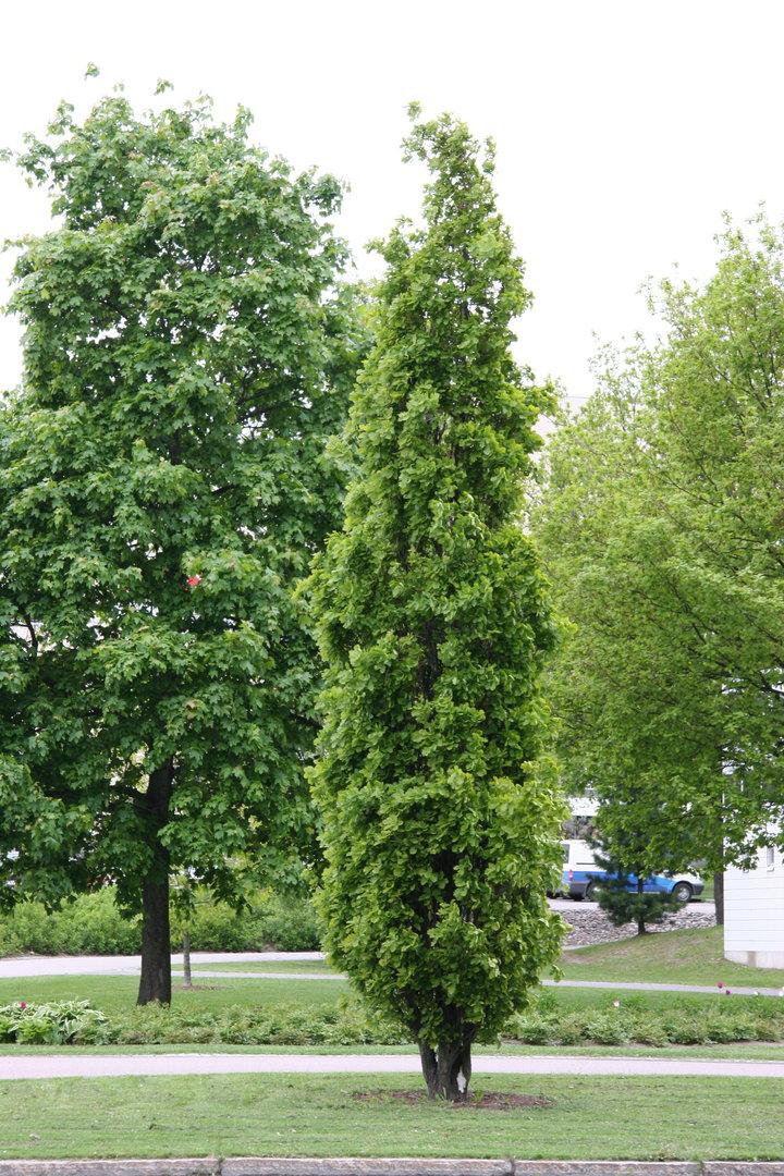 Quercus_robur__180_Fastigiata_180__kartiotammi