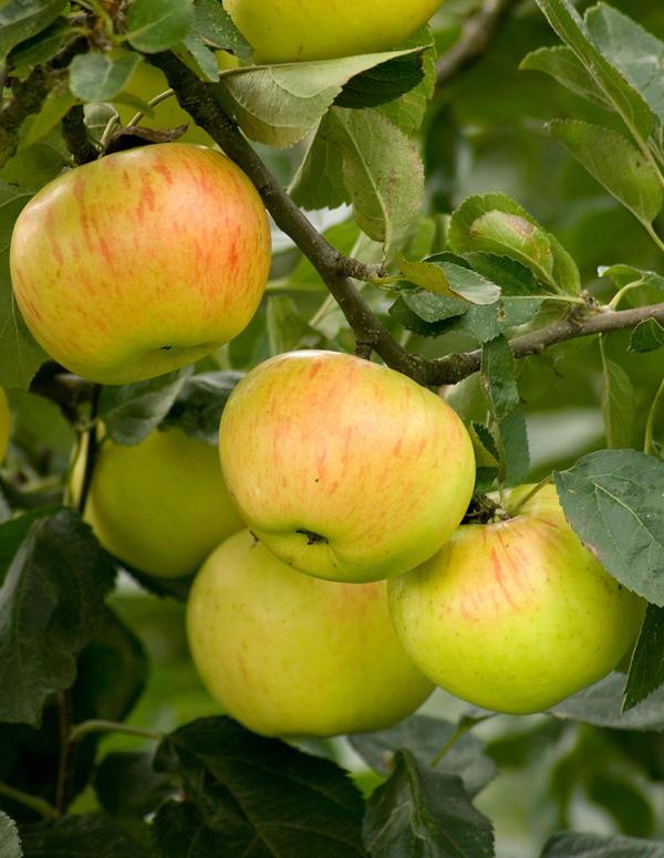omenakaneli
